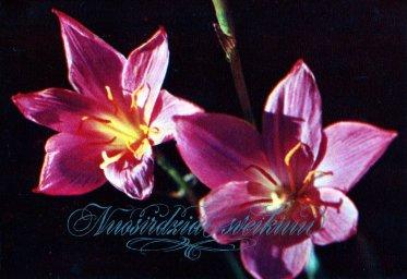 С днем рождения, советская открытка. Два цветка